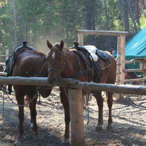 Pack horses for hunt